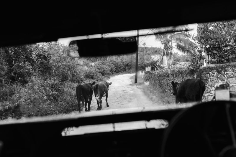view of cows out the jeep window